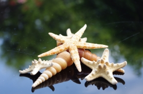 Turittella Shells and Starfish